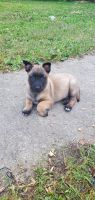 Belgian Shepherd Dog (Malinois) Puppies for sale in Chattanooga Valley, GA, USA. price: NA