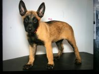 Belgian Shepherd Dog (Malinois) Puppies for sale in Adkins, TX 78101, USA. price: NA