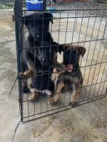 Belgian Shepherd Dog (Malinois) Puppies for sale in Miami, FL, USA. price: NA