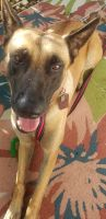 Belgian Shepherd Dog (Malinois) Puppies for sale in Groveland, FL, USA. price: NA