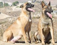Belgian Shepherd Dog (Malinois) Puppies for sale in Lake Mathews, CA 92570, USA. price: NA