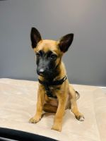 Belgian Shepherd Dog (Malinois) Puppies for sale in Raleigh, NC 27612, USA. price: NA