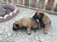 Belgian Shepherd Dog (Malinois) Puppies for sale in Stockton, CA, USA. price: NA