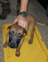 Belgian Shepherd Dog (Malinois) Puppies for sale in Willow Creek, CA 95573, USA. price: NA