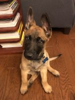 Belgian Shepherd Dog (Malinois) Puppies for sale in Sherman Oaks, Los Angeles, CA, USA. price: NA