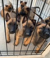 Belgian Shepherd Dog (Malinois) Puppies for sale in Jamul, CA, USA. price: NA