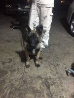 Belgian Shepherd Dog (Malinois) Puppies for sale in N 23rd Ave & W Cactus Rd, Phoenix, AZ 85029, USA. price: NA