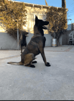 Belgian Shepherd Dog (Malinois) Puppies for sale in North Hollywood, Los Angeles, CA, USA. price: NA
