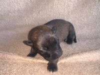 Belgian Shepherd Dog (Malinois) Puppies for sale in Converse, TX 78109, USA. price: NA
