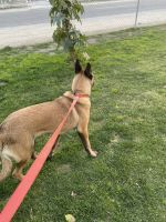 Belgian Shepherd Dog (Malinois) Puppies for sale in Fresno, CA, USA. price: NA