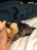Belgian Shepherd Dog (Malinois) Puppies for sale in Oswego, IL, USA. price: NA