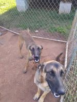 Belgian Shepherd Dog (Malinois) Puppies for sale in Pelzer, SC 29669, USA. price: NA