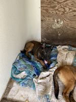 Belgian Shepherd Dog (Malinois) Puppies for sale in Christmas, FL 32709, USA. price: NA