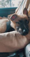Belgian Shepherd Dog (Malinois) Puppies for sale in San Marcos, CA, USA. price: NA
