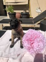 Belgian Shepherd Dog (Malinois) Puppies for sale in Garden Grove, CA 92845, USA. price: NA