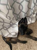Belgian Shepherd Dog (Malinois) Puppies for sale in Galt, CA, USA. price: NA