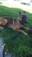 Belgian Shepherd Dog (Malinois) Puppies for sale in Vallejo, CA, USA. price: NA