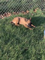 Belgian Shepherd Dog (Malinois) Puppies for sale in Hermiston, OR, USA. price: NA