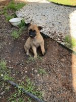 Belgian Shepherd Dog (Malinois) Puppies for sale in Easley, SC 29642, USA. price: NA