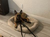 Belgian Shepherd Dog (Malinois) Puppies for sale in Davie, FL, USA. price: NA