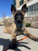 Belgian Shepherd Dog (Malinois) Puppies for sale in Yonkers, NY 10701, USA. price: NA