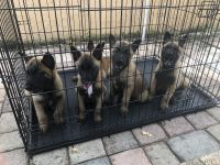 Belgian Shepherd Dog (Malinois) Puppies for sale in Miami Beach, FL, USA. price: NA