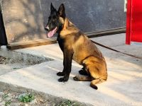 Belgian Shepherd Dog (Malinois) Puppies for sale in Friendswood, TX 77546, USA. price: NA