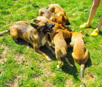 Belgian Shepherd Dog (Malinois) Puppies for sale in Spanaway, WA, USA. price: NA