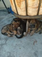 Belgian Shepherd Dog (Malinois) Puppies for sale in Lakewood, CA 90712, USA. price: NA