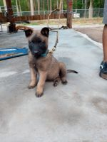 Belgian Shepherd Dog (Malinois) Puppies for sale in Warrenville, SC 29851, USA. price: NA