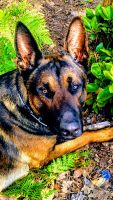 Belgian Shepherd Dog (Malinois) Puppies for sale in Beaufort, NC 28516, USA. price: NA
