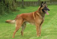 belgian shepherd dog malinois dog