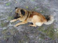 Belgian Shepherd Dog (Tervuren) Puppies Photos