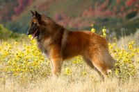 belgian shepherd dog tervuren dog