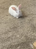 Belgian Silver rabbit Rabbits for sale in Baltimore, MD, USA. price: NA