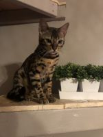 Bengal Cats for sale in 15 Pine View Ln, Orwigsburg, PA 17961, USA. price: NA