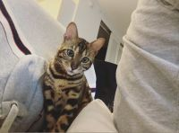 Bengal Cats for sale in Jersey City, NJ 07311, USA. price: NA
