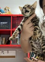 Bengal Cats for sale in Long Island Expy, New York, NY, USA. price: NA