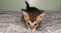 Bengal Cats for sale in New York, NY, USA. price: NA
