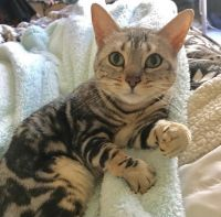 Bengal Cats for sale in Queen Creek, AZ 85140, USA. price: NA