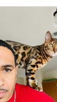 Bengal Cats for sale in Killeen, TX, USA. price: NA