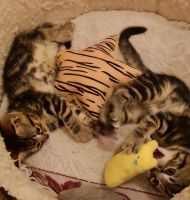 Bengal Cats for sale in Los Angeles, CA, USA. price: NA