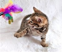 Bengal Cats for sale in Union City, CA, USA. price: NA