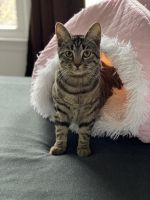 Bengal Cats for sale in Virginia Beach, VA 23451, USA. price: NA