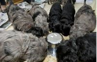 Bergamasco Puppies for sale in Georgetown, GA, USA. price: NA