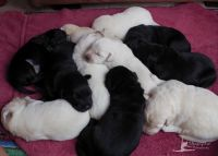 Berger Blanc Suisse Puppies for sale in Torrance, CA, USA. price: NA
