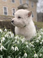 Berger Blanc Suisse Puppies Photos