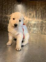 Berger Blanc Suisse Puppies Photos