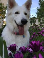 Berger Blanc Suisse Puppies for sale in Laguna Hills, CA, USA. price: NA