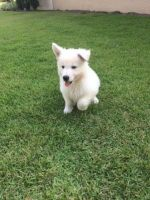 Berger Blanc Suisse Puppies for sale in Naples, FL, USA. price: NA